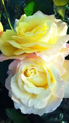 I love yellow roses! Pretty Roses, Beautiful Roses, Amazing Flowers, Love Flowers, Yellow Flowers, Colorful Flowers, Exotic Flowers, Rosa Rose, Coming Up Roses
