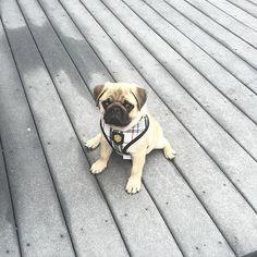 Been working on my split. What do you think?  #pugs #pug #puppy #puppies #pugsnotdrugs #cute #dog #cupcakepugs #pugsofIG #thetomcoteshow #pugloversclub #pugbasement #qtpugs #worldofpug #babypuggies #frankthepughero #mopsi #pugnation #pugloversofinsta #mop