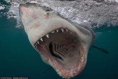 Simply terrifying: Marine biologist Chris Perkins photographed the great white shark in So...