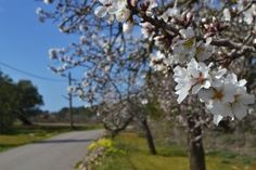 A walk of almonds in full bloom- Ibiza, Corona Valley (Photo by Hugo García)