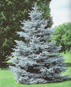 Hoopsii Colorado Blue Spruce
