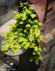 Creeping Jenny planted in old mailbox.