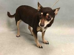 Safe ❣A1084169 Starr ..FEMALE, BROWN / TAN, CHIHUAHUA SH MIX, 12 yrs OWNER SUR – EVALUATE, NO HOLD Reason MOVE2PRIVA Intake condition GERIATRIC Intake Date 08/04/2016, From NY 10458, DueOut Date 08/04/2016,