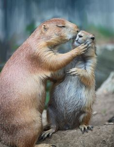 """Prairie dog kisses """"OK honey, have a nice day at school. Cute Creatures, Beautiful Creatures, Animals Beautiful, Cute Baby Animals, Animals And Pets, Funny Animals, Animals Kissing, Wild Animals, Funny Cats"""