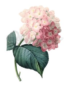 Vintage French Pink Hydrangea Printable Digital Image: Commercial Use - Image No. R62 Instant Download. $2.00, via Etsy.