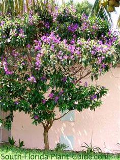 Tibouchina Tree