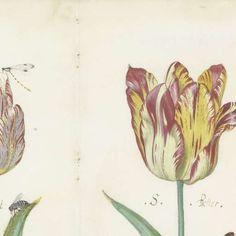 Blad uit een tulpenboek, Jacob Marrel, ca. 1640 - tulp-Verzameld werk van Marlene - Alle Rijksstudio's - Rijksstudio - Rijksmuseum