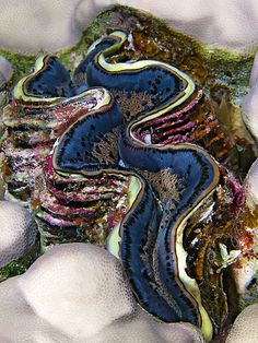 Giant Clam (Tridacna gigas) from the Red Sea, Egypt. Sea life has so many colors and patterns to give inspiration to any craft project. Underwater Creatures, Underwater Life, Ocean Creatures, Vida Animal, Photo Animaliere, Life Under The Sea, All Nature, Red Sea, Ocean Life