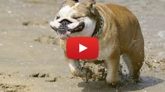 Check out the 9 funniest bulldog videos of 2015 See Videos, Trending Videos, Website, Check, Funny, Dogs, Animals, Animales, Animaux