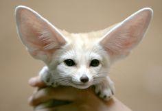 #Desert fennec #fox
