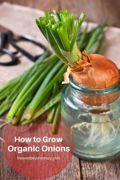 How to Grow Organic Onions - onions are one of the easiest vegetables to grow in your garden. See what I've learned through the years from my Mamma! #blessedbeyondcrazy #onions #gardening