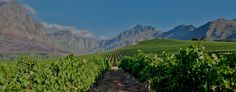 Oldenburg Vineyards - Excellent wines in a truly breathtaking setting in Stellenbosch. South African Wine, Chenin Blanc, Oldenburg, Cabernet Sauvignon, Wineries, Beautiful Gardens, Natural Beauty, Vineyard, Cape