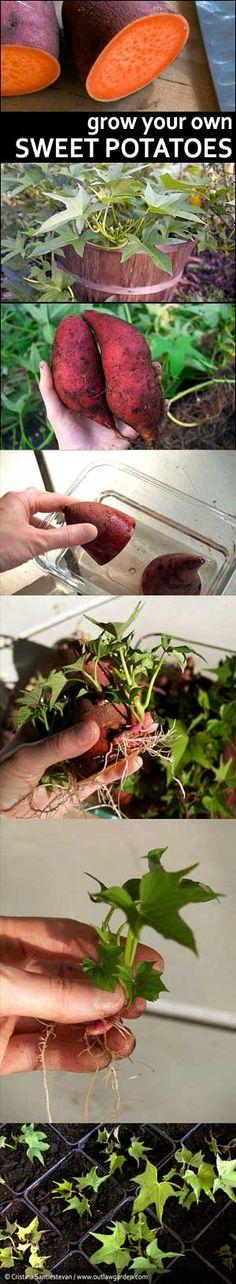 Faire vos propres plans de patates douces pour orner vos jardinières de ce magnifique feuillage vert anis