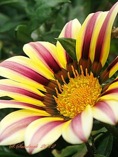 Bold and beautiful Gazania. A member of the aster family, native to South Africa.