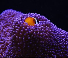Clownfish in a sea of purple...