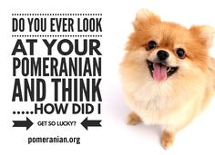 Marvelous Pomeranian Does Your Dog Measure Up and Does It Matter Characteristics. All About Pomeranian Does Your Dog Measure Up and Does It Matter Characteristics. Mini Pomeranian, Pomeranian Facts, I Love Dogs, Cute Dogs, Awesome Dogs, Save A Dog, Lap Dogs, Dry Dog Food, Little Dogs