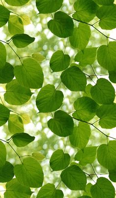 Sunlight Through Leaves by Ella Doran - Green and white - Wallpaper : Wallpaper Direct Green Leaf Wallpaper, White Wallpaper, Leaves Wallpaper, Green Leaves, Plant Leaves, Green Home Decor, Window Films, Beautiful Interior Design, Roller Blinds