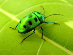 A colourful beetle lying on a green leaf for its feed. Photo: M. Leaf Beetle, Green Beetle, Lie Detector Test, Beautiful Bugs, Private Investigator, Bugs And Insects, Beetles, Butterflies, Creatures