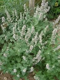 Five plants to grow as mosquito repellents ~ rose-scented monarda, lime basil, catnip, sacred basil, & thyme Natural Mosquito Repellant, Mosquito Repelling Plants, Lime And Basil, Mother Earth News, Hardy Plants, Herbalism, Bloom, Herbs, West Texas