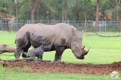 The gorgeous female calf named Mango was born Thursday 7 February 2013 and she is the first offspring for Australia Zoo's rhino, Inyeti and DJ. #rhino #rhinoceros #wildlife #animals #conservation #baby #calf #australiazoo
