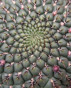 Spiralic cactus by petrichor - spiky texture Fractals In Nature, Spirals In Nature, Cacti And Succulents, Planting Succulents, Cactus Plants, Prickly Cactus, Indoor Cactus, Green Cactus, Patterns In Nature