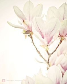 Pretty in Pink - Fine Art Photography, Pastel Pink Nature Magnolia Flower Photography Print. Cream  Pale Pink Home Decor, Art