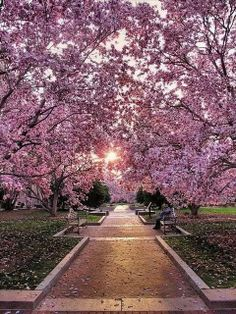 Cherry Blossom Walk, Washington DC