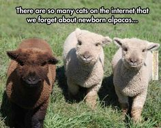 Turns out they are baby sheep, not alpacas, but the picture is still cute, so going to leave it.