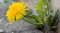 Löwenzahn entfernen: Das hartnäckige Unkraut wirksam und zügig bekämpfen. (Quelle: Thinkstock by Getty-Images)