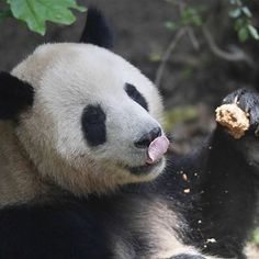 Denmark, here comes pandas!  A pair of giant pandas, male He Xing and female Mao Er, will head to Copenhagen for collaborative research between China and Denmark.  They will live in Copenhagen Zoo for 15 years, according to the agreement signed between the Chinese Association of Zoological Gardens and the zoo.  #panda #ipanda #china #copenhagen #pandaembassador #Sichuan #travelphotography