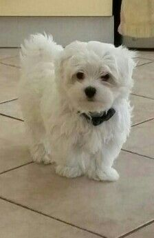 this Maltese puppy is very cute