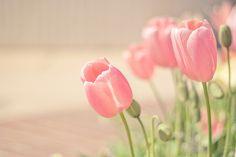 Tulip Love | Flickr - Photo Sharing!
