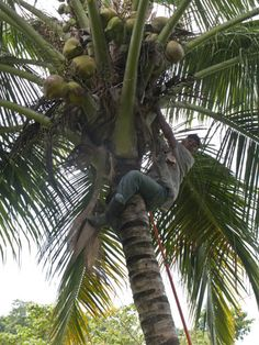 When we called in on Faustino we found him busy harvesting coconuts, which he happily shares with us once he's made it safely back down to solid ground.