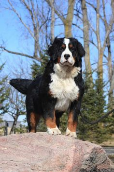 Bernese Mountain Dog....my LuLu has some of this in her!!