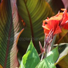 How to prune cannas - Algerald's plants and bulbs- Canna Lily Landscaping, Canna Bulbs, New Growth, Garden Spaces, Helpful Hints, Lawn, Plant Leaves, Bloom, Landscape