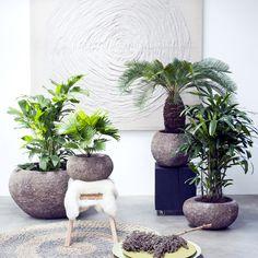 Woonplanten van de Maand februari: Exclusieve palmen