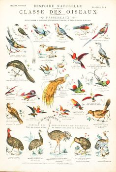 Vintage school chart, french 1900, birds classifications planche No 3. pull down chart