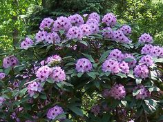 rhododendron blue ensign - Google Search