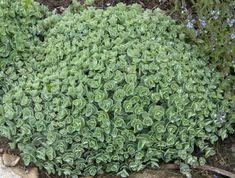 sedums | Sedum are a very diverse family of plants. Below are a few from the 30 ...