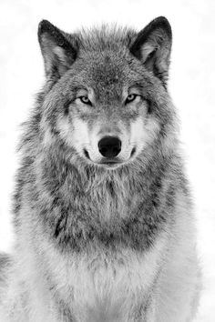 beautiful wolf - black & white
