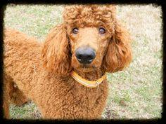 Red Standard Poodle, Merlot