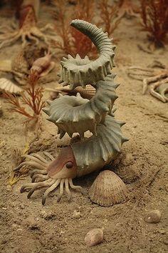 Helioceras heteromorph ammonite