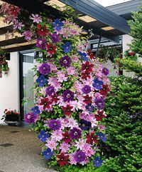"""Never thought to mix Clematis close together like that.-""""Clematis are lovely bright colored climbing flowers that will light up any garden. They are """"friendly"""" plants that grow well with others and grow upwards of feet. Climbing Clematis, Clematis Plants, Clematis Vine, Flowers Perennials, Planting Flowers, Clematis Flower, Flower Gardening, Clematis Varieties, Climbing Vines"""