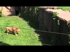 Lincolnpark Zoo Sahar climbing moat 6/2015