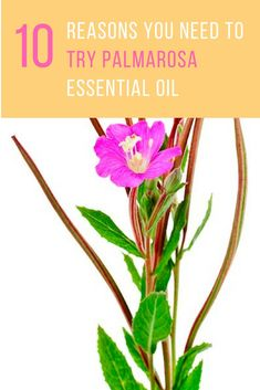 Palmarosa oil has a sweet floral scent, has a pale color, and appears watery. Here are 10 palmarosa essential oil benefits that you consider before trying it. Palmarosa Essential Oil, Essential Oils 101, Essential Oils Cleaning, Young Living Essential Oils, Essential Oil Blends, All Natural Cleaners, Nail Polish, Pure Oils, Oil Benefits