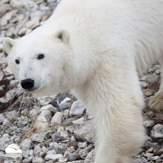polar bear in Churchill, Canada. Oct. 26, 2015.  Claudete Lima and Luciene Iponda.