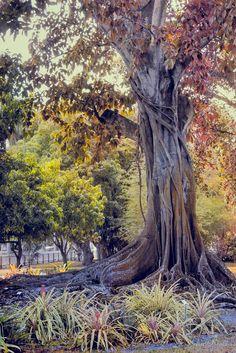 The Old Banyan Tree (Florida) by John Rivera on 500px