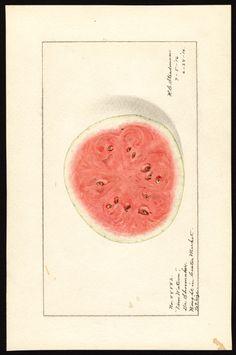 Artist: Steadman, Royal Charles, b. 1875 Scientific name: Citrullus lanatus Common name: watermelons Variety: Tom Watson