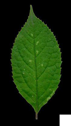 白檀 Symplocos paniculata