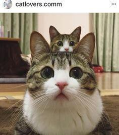 Adorable kittens cutest, cats and kittens, cute cats, siamese kittens, funn Siamese Kittens, Cute Cats And Kittens, I Love Cats, Kittens Cutest, Black Kittens, Fluffy Kittens, Kittens Playing, Cute Funny Animals, Cute Baby Animals